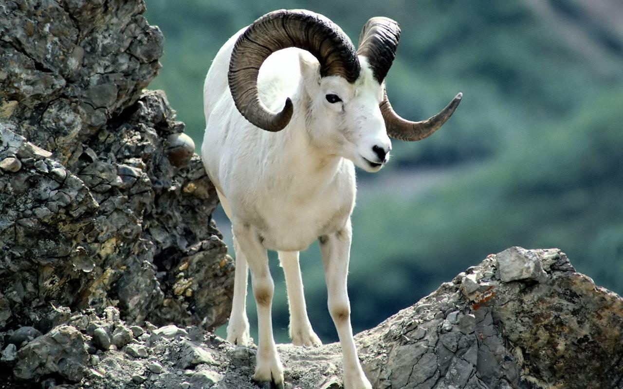 R Goats The argali (Ovis ammon...