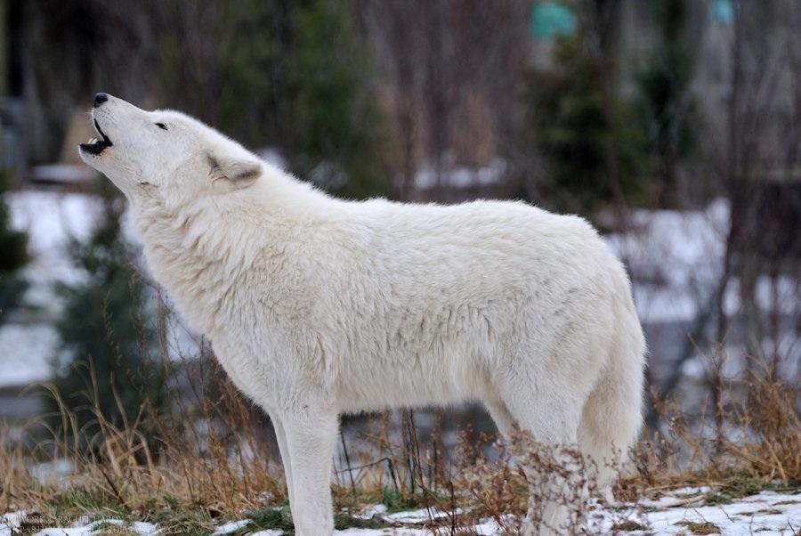 Arctic Wolf Canis Lupus Arctos Pgcps Mess Reform