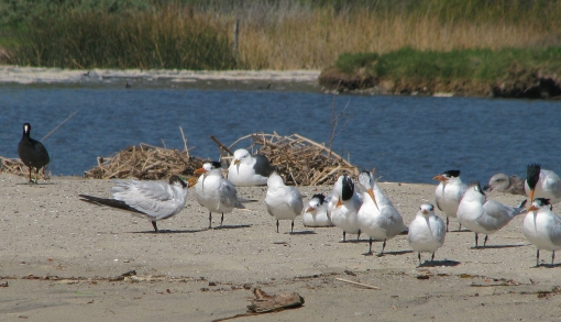 img_6047-royal-terns-1-begging-cu1
