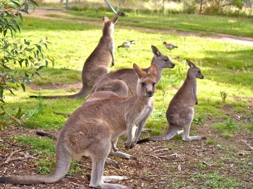 Kangaroo-218ut1a-1024x768