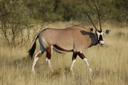 Oryx_gazella_-Etosha_National_Park,_Namibia-8