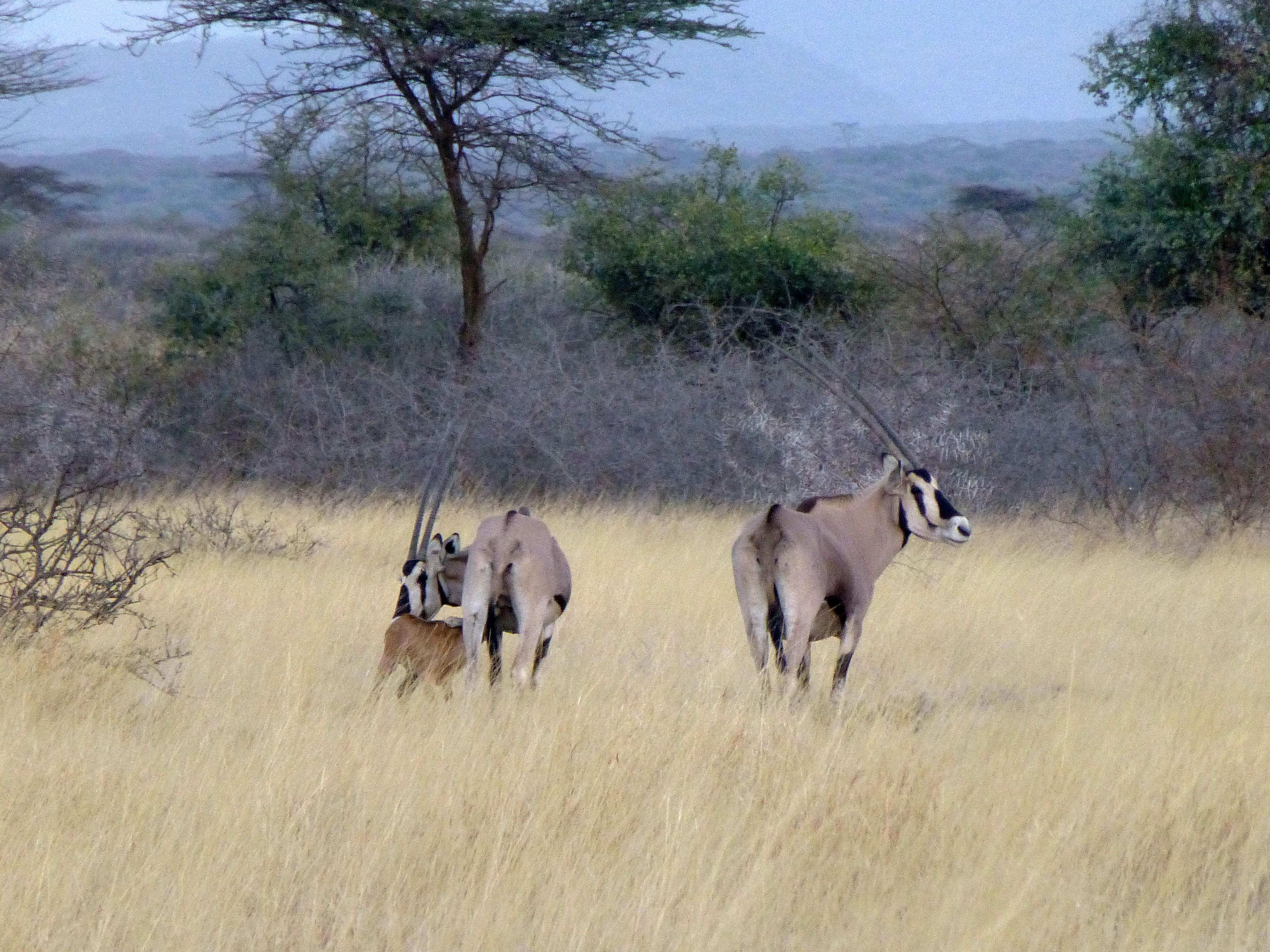 the gemsbok  oryx gazella