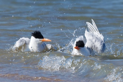 Royal Tern, Murrells Inlet, SC 4-2-13-1805