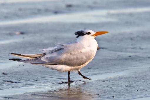 Elegant Tern (Thalasseus elegans, syn. Sterna elegans), Morro St