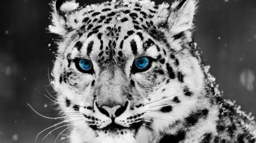 Snow_leopard-1280x720