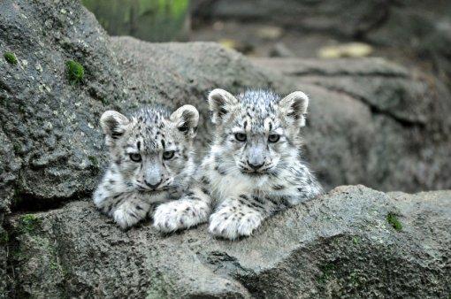 snow_leopard_1__by_hecklinghyena-d5gm8l7