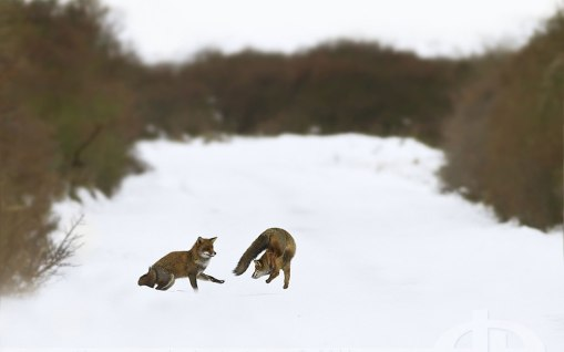 two-foxes-playing-on-the-snow_wallpaper