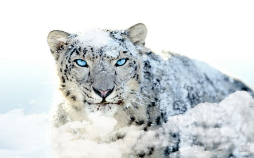 white-leopard-hd-nature-best-mac-os-x-snow-blue-eye-154732