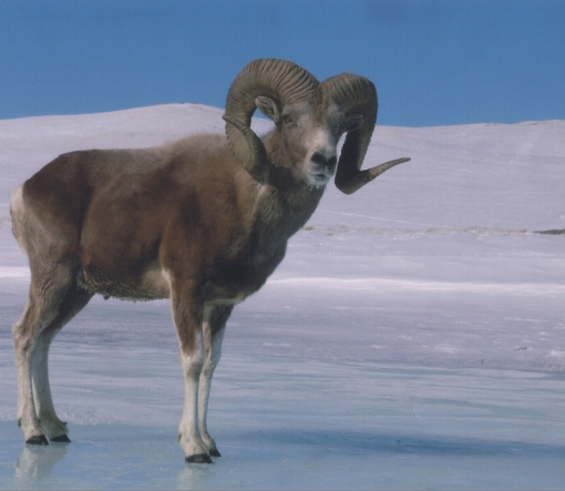 argali_sheep