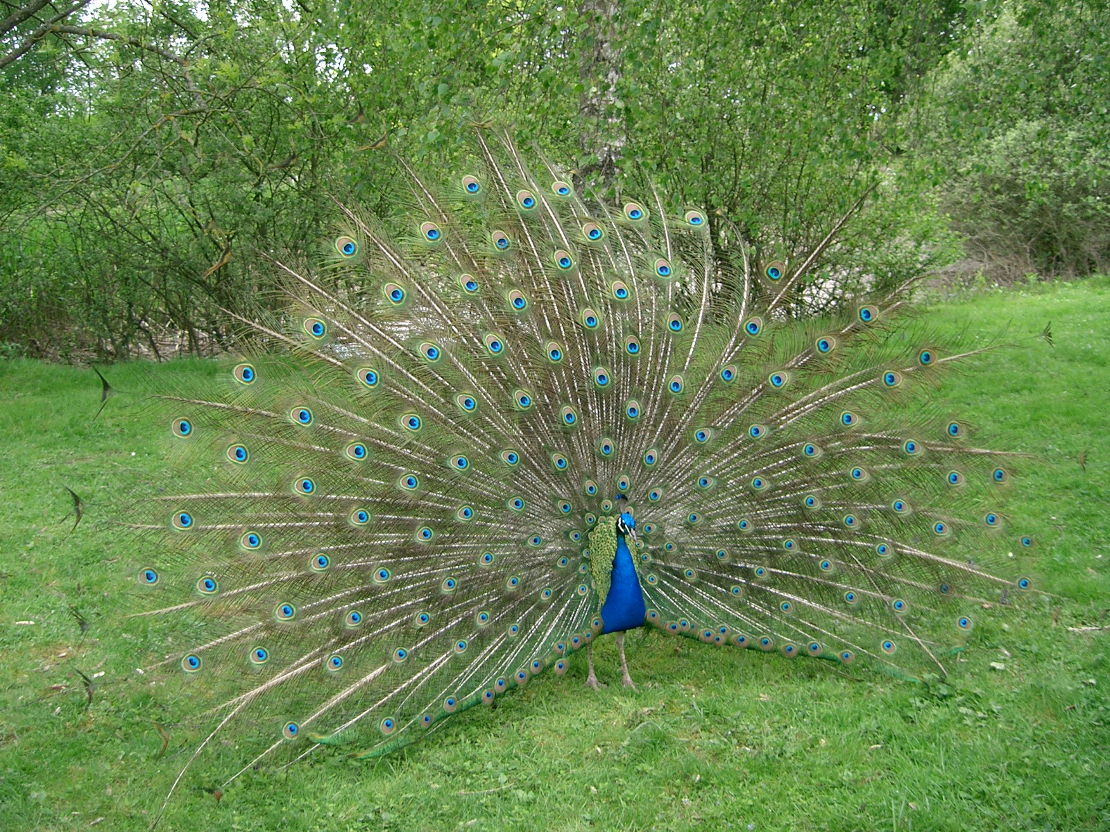 Peafowl (Pavo cristatus). | PARENTS ALLIANCE OF PRINCE ...
